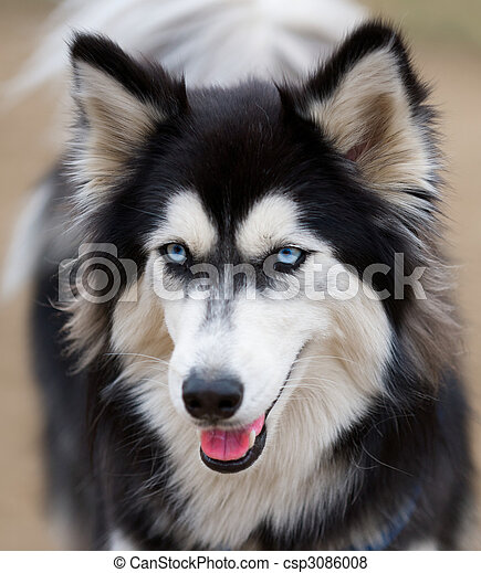 Siberian Husky face close up. - csp3086008