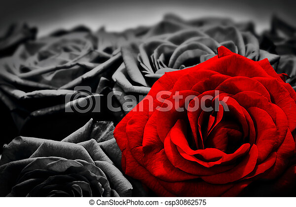 Romantic greeting card of red rose against black and white roses. Valentines day, mothers day, anniversary flowers etc.