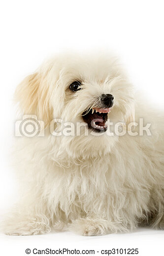a very intimidating bichon - csp3101225