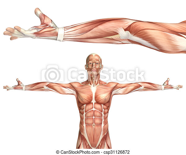 3D medical figure showing elbow supination - csp31126872