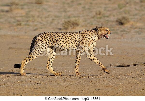 Stalking Cheetah - csp3115861