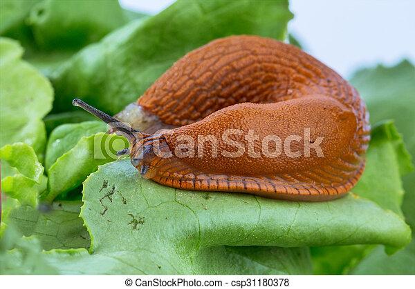 Im genes de lechuga hoja caracol un babosa en el for Caracol de jardin alimentacion