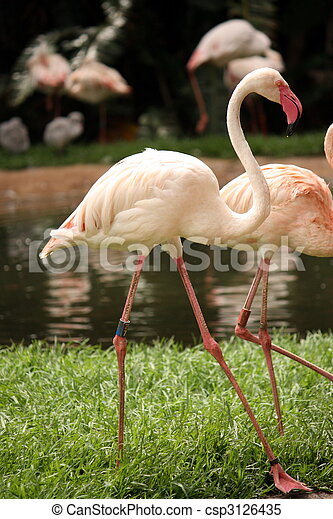 Prancing Flamingo - csp3126435