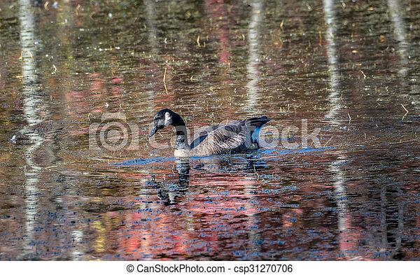 Canada Goose in a Chesapeake Bay Pand in Autumn - csp31270706
