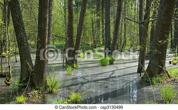 Springtime alder bog forest - csp3130499