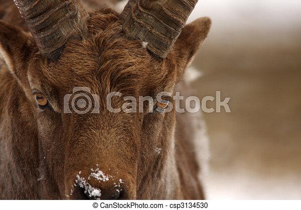 Alpine Ibex  - csp3134530