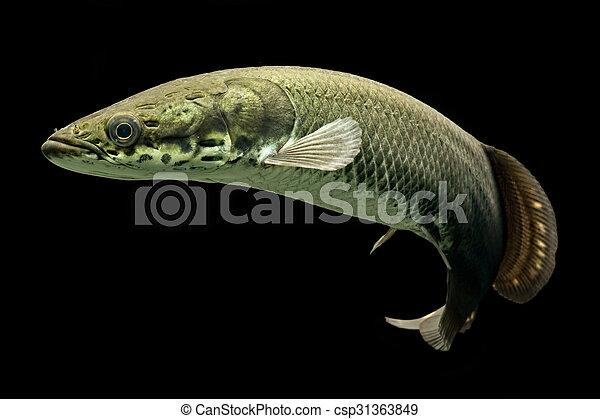 Arapaima One Of The Biggest Freshwater Fish