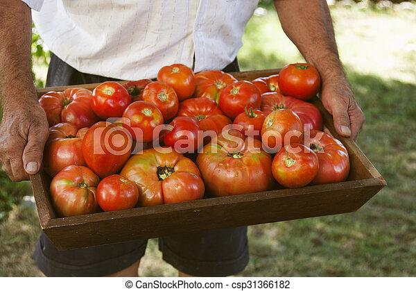 farmer harvesting tomatoes - csp31366182