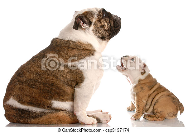 funny dog fight - bulldog puppy barking at mother