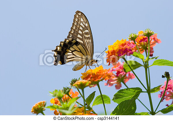Colorful swallowtail butterfly flying and feeding on flowers - csp3144141