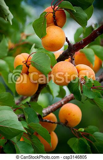 ripe apricots - csp3146805