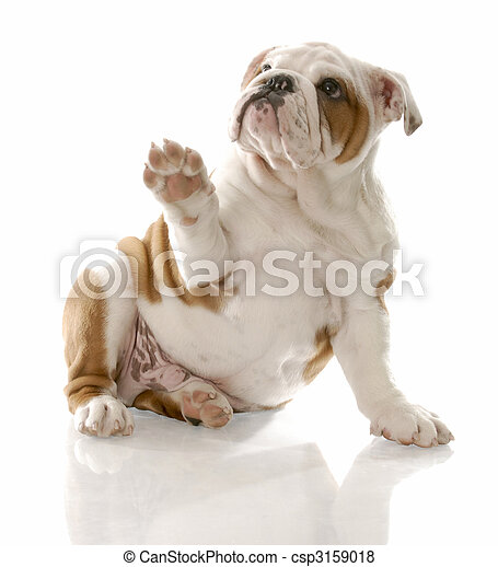 english bulldog puppy sitting holding paw up to viewer - csp3159018