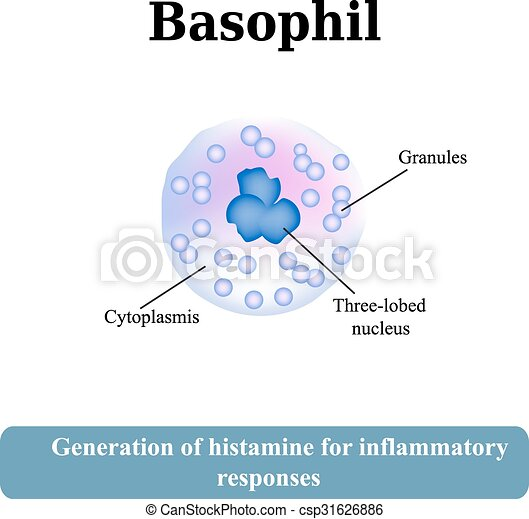 Vector of The structure of the basophil. Vector illustration ...
