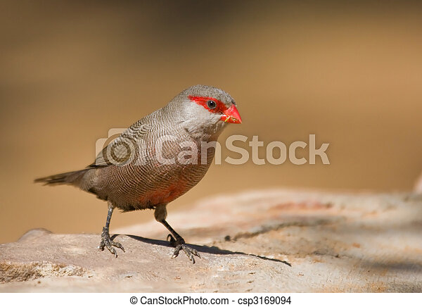 Common Waxbill - csp3169094