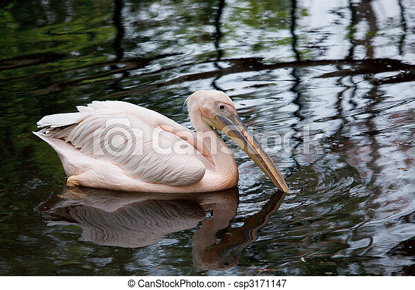 Rosy pelican - csp3171147