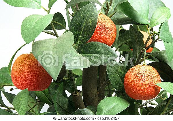 planta, mandarina - csp3182457