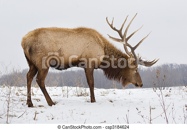 Big Bull Elk on Snowy Day - csp3184624