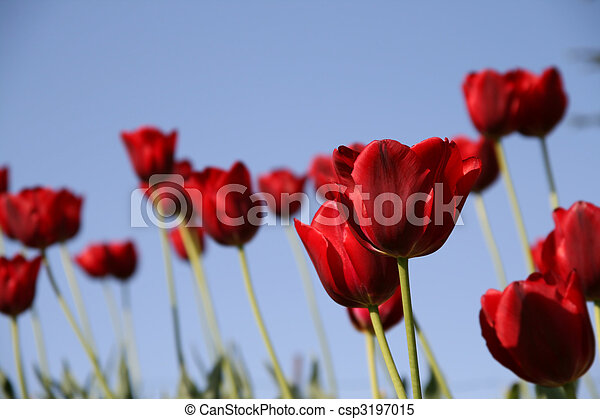 red tulips field on a blue sky - csp3197015
