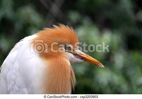 Eastern Cattle Egret in Breeding Season Plumage - ardea ibis coromanda - csp3203903
