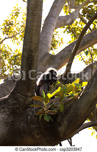 Dusky Leaf Monkey (Semnopithecus obscurus) backlit & eating leaves from a Morton Bay Fig Tree  - csp3203947