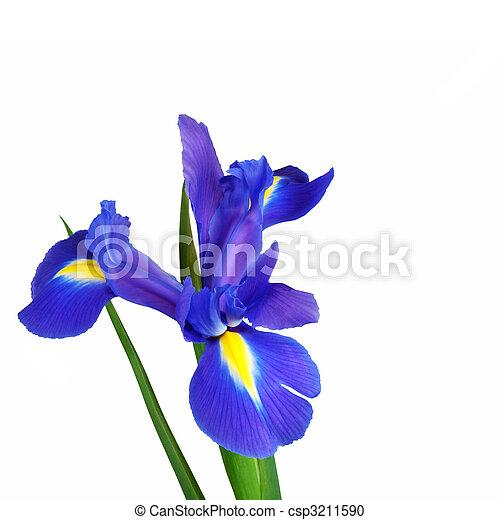 Iris Flower Beauty  - csp3211590