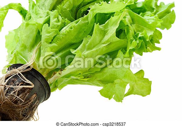 fresco, verde, planta, Lechuga - csp3218537