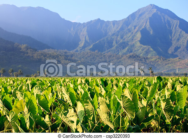 Taro plants at Hanalei - csp3220393