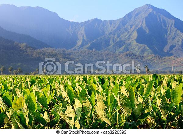 Taro plants at Hanalei - csp3220393