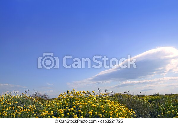 Asteraceae, Helichrysum stoechas yellow flowers under blue sky, nature - csp3221725