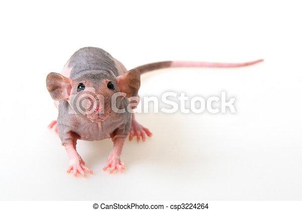 naken råtta
