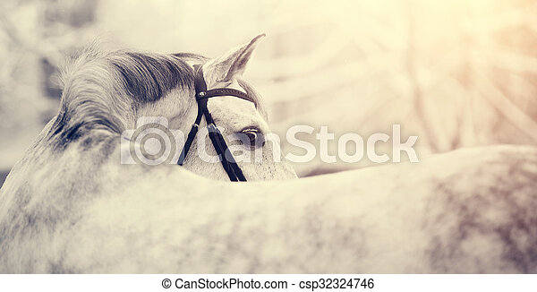 Portrait of a gray thoroughbred sports horse in the winter. Portrait of a sports stallion. Beautiful horse.
