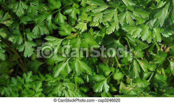 Photographies de persil vert feuilles de persil for Plante utile