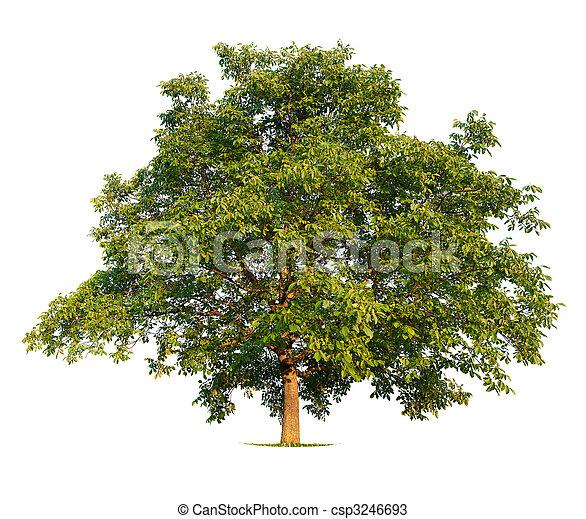 Walnut Tree - csp3246693