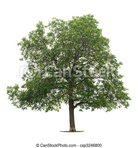 樹, 胡桃 - csp3246800