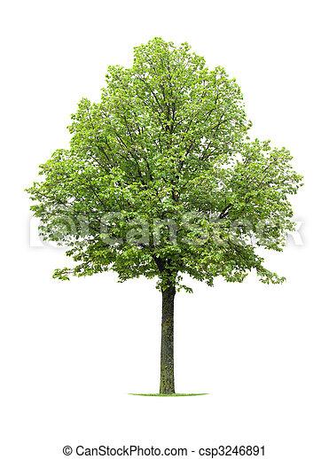 photographies de tilleul arbre isol sur blanc csp3246891 recherchez des photos des. Black Bedroom Furniture Sets. Home Design Ideas