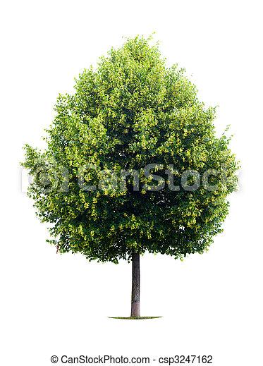 photo de tilleul arbre isol sur blanc csp3247162 recherchez des photographies des photos. Black Bedroom Furniture Sets. Home Design Ideas