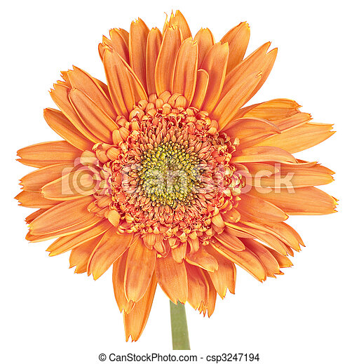 Orange gerbera daisy, Gerbera, isolated on a white background