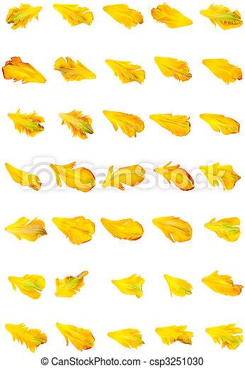 yellow tulip petals isolated on white background - csp3251030