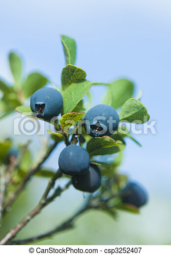 Wild blueberries - csp3252407