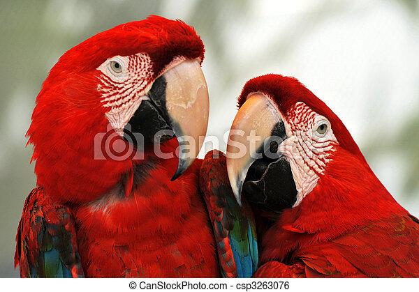 Scarlet Red Macaws - csp3263076