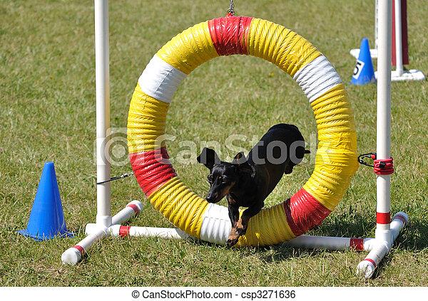 Black Miniature Dachshund Jumping through an Agility Tire - csp3271636