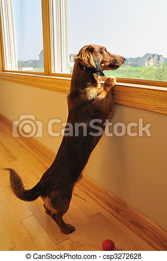 Miniature Dachshund Looking out a Window - csp3272628