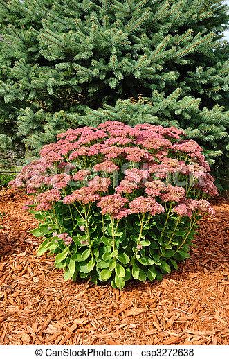 Flowering Sedum Autumn Joy - csp3272638