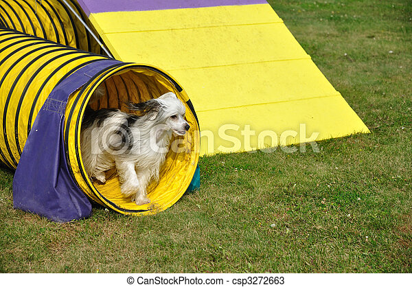 Powderpuff Chinese Crested Dog Leaving Yellow Agility Tunnel - csp3272663