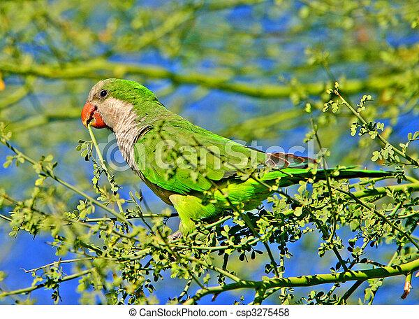 Monk Parakeet - csp3275458