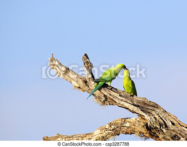 rose ringed parakeets - csp3287788