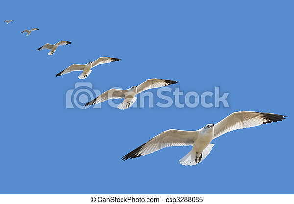 High speed multiple exposure of a seagull gliding to a landing with blue sky background - csp3288085