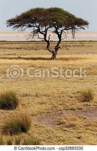 rgeöffnete, baum, groß, Ebenen, afrikas, Akazie, savanne - csp32883330