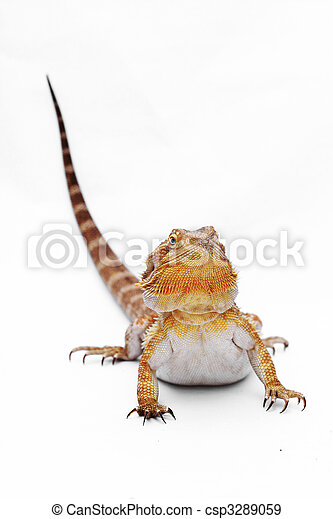 Bearded dragon isolated on white background - csp3289059