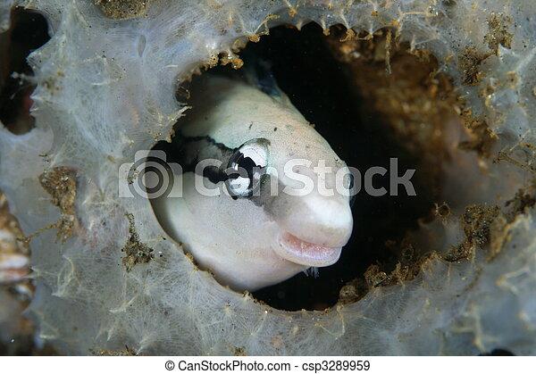 blenny fish lurking - csp3289959